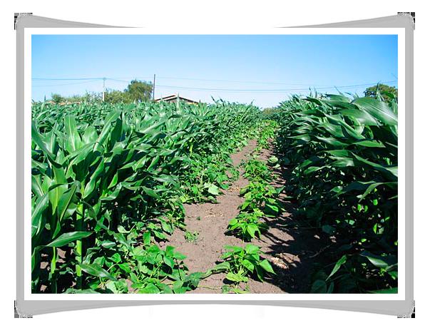 T cnicas de cultivo faba asturiana for En cuanto tiempo se cosecha la tilapia